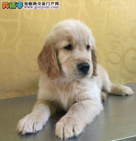 南宁出售温顺金毛寻回犬 听话懂事 已做基本训练
