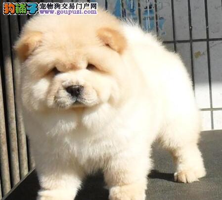 出售血统纯正石家庄松狮犬保证纯种购买有礼品