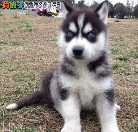 哈士奇幼犬'三把火,双蓝眼,活泼健康:-)各色哈士奇