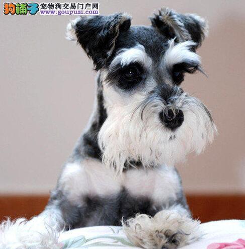 出售大头版大骨架的泉州雪纳瑞幼犬 可随时视频看种犬