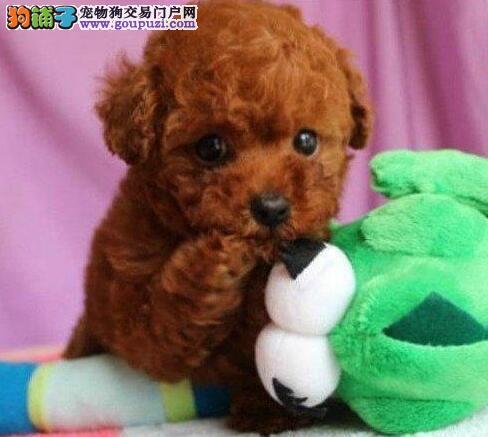 多种颜色的赛级泰迪犬幼犬寻找主人保证品质完美售后3