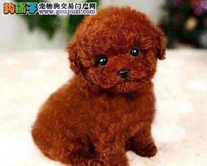 常年出售纯种精品的北京泰迪犬 专业缔造完美品质2