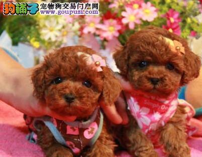 优惠价格转让纯种长沙泰迪犬 韩系血统有证书保证质量