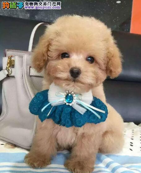 北京售纯种泰迪幼犬贵宾卷毛犬公母全有可挑选