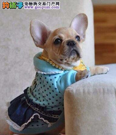 北京自家繁殖国外引进纯种法国斗牛犬幼犬