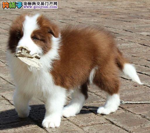 纯种边境牧羊犬幼犬出售 双血统边牧幼崽 可见狗父母