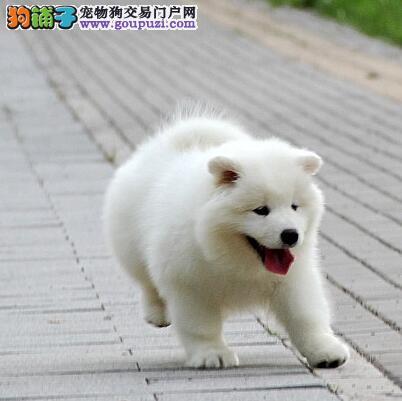 萨摩耶雪橇犬天津犬明星犬业纯种极品幼犬