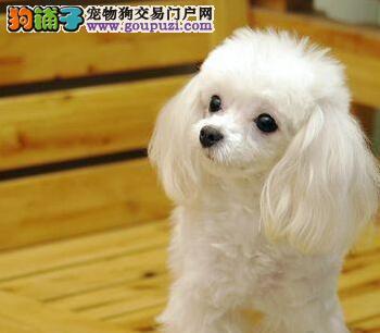 优惠促销韩系茶杯体贵宾犬汕头地区购买赠送狗粮