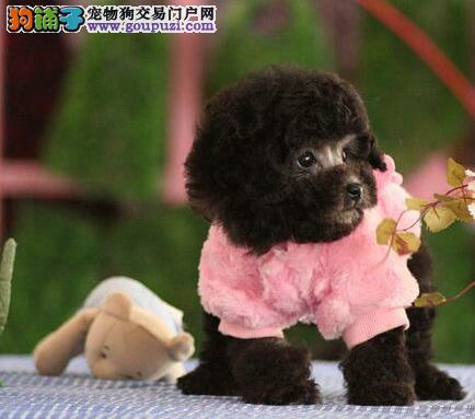 泰迪犬CKU认证犬舍自繁自销当日付款包邮