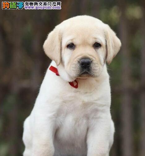 武汉出售拉布拉多幼犬颜色全 签协议保健康 疫苗已做完
