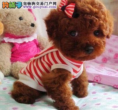 成都出售小体泰迪熊 棕色红色黑色茶杯犬泰迪玩具犬