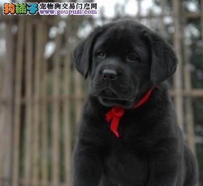 北京专业的拉布拉多犬舍终身保健康价格低廉品质高
