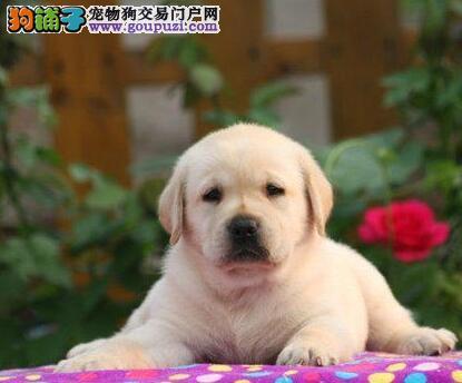 聪明活泼拉布拉多犬出售血统纯正专业繁殖出售