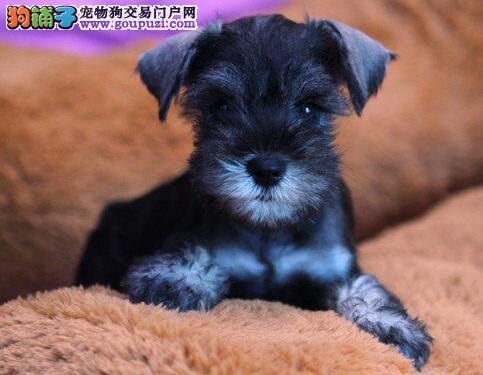 杭州犬舍出售椒盐色深灰色的雪纳瑞幼犬 品相售后均包1