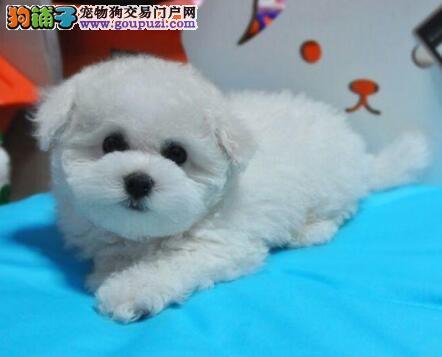 出售勇敢机灵聪明听话的广州比熊犬 带有血统证书3