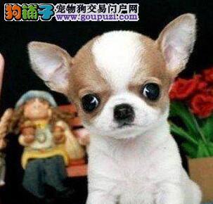 科学繁育 墨西哥袖珍吉娃娃犬健康品质有保障