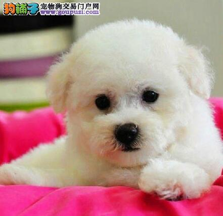 冠军后代幼犬 大眼睛甜美脸型比熊幼犬武汉多只出售3