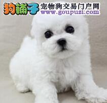 深圳繁育顶级高品质的比熊幼犬出售疫苗齐全质量三包