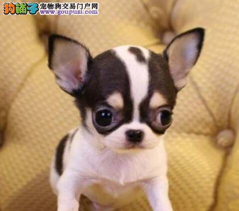 特价优惠出售超小体唐山吉娃娃幼犬 视频看狗同城送货