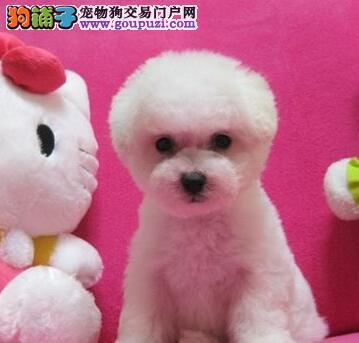 冠军后代幼犬 大眼睛甜美脸型比熊幼犬武汉多只出售2