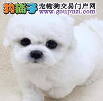 重庆棉花糖般的比熊幼犬 纽扣眼毛量足小体比熊
