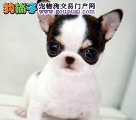 自家犬舍繁殖的可爱墨西哥精品袖珍吉娃娃低价出售啦