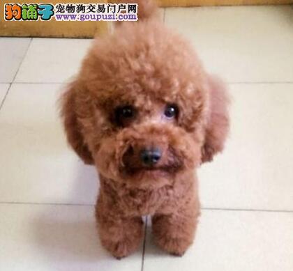 多只优秀进口韩系贵阳泰迪犬低价出售 保证血统纯正