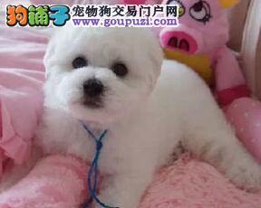 最大犬舍出售多种颜色比熊微信咨询看狗