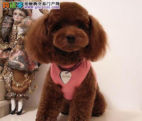 体型较小活泼可爱的西宁泰迪犬找新家 放心选购2