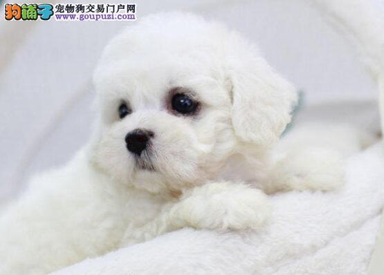 北京出售纯种比熊犬疫苗齐可见幼犬父母 签署健康协议图片