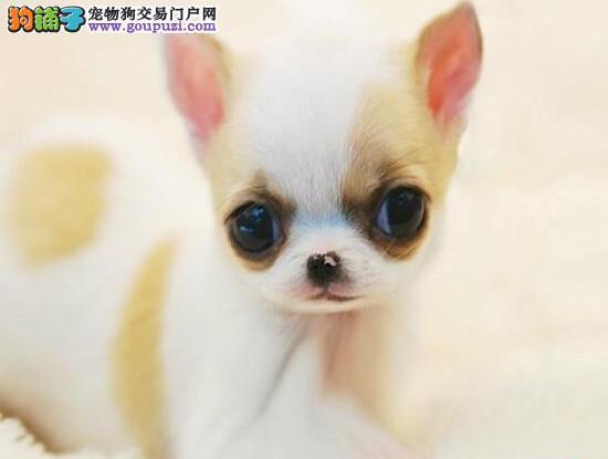 纯种墨西哥血统赛级吉娃娃 幼犬待售中,可视频支付宝