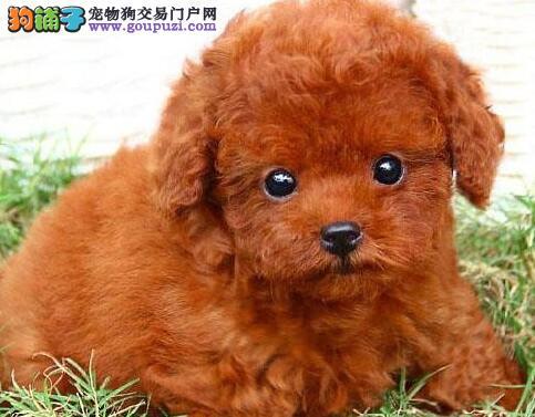 犬舍促销卷毛小巧可爱泰迪犬 郑州市内购犬送狗粮1