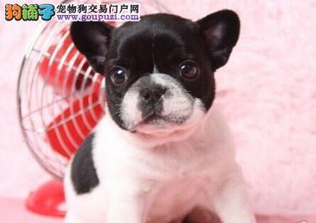北京精心繁育法国斗牛犬 保纯种健康疫苗驱虫已做完
