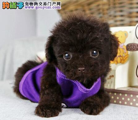 上海售纯种茶杯犬泰迪犬赛级泰迪价格合理出售售后好