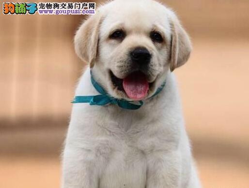 合肥出售拉布拉多幼犬神犬小七导盲犬家庭伴侣犬拉拉