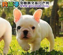 南京高品质法牛犬正规犬舍品质直销价格合理有保障