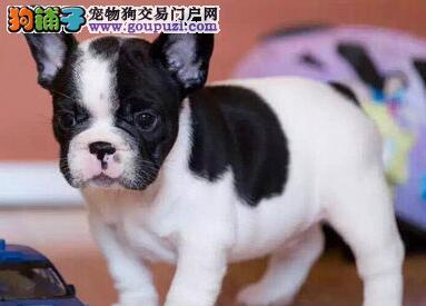 南京高品质法牛犬正规犬舍品质直销价格合理有保障2