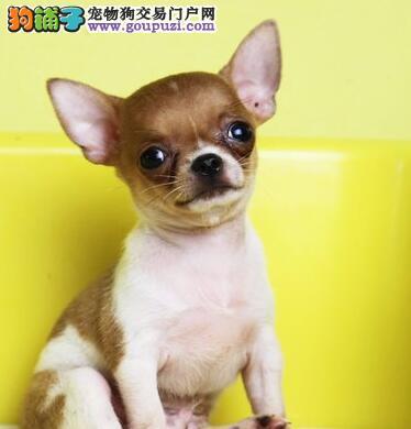 纯种吉娃娃幼犬出售 疫苗驱虫已做 健康保证 公母都有