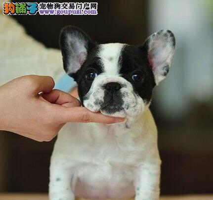 南京高品质法牛犬正规犬舍品质直销价格合理有保障3