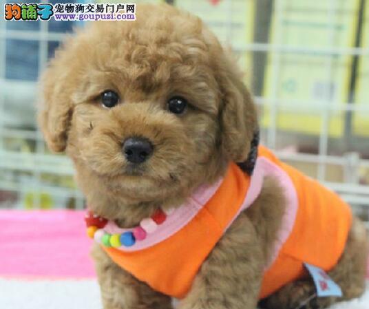 可爱至极的广州泰迪犬找新主人啦 购买可签订协2