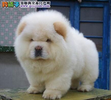 优惠促销精品青岛松狮犬完美品相可爱至极