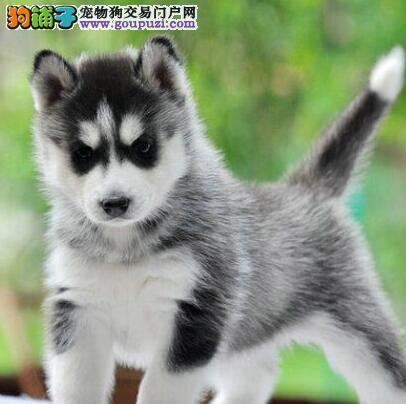北京纯种哈士奇 小哈二哈西伯利亚雪橇犬出售签协议