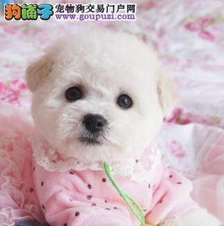 北京专业繁殖美系小体爆毛比熊犬保证健康纯种可挑选