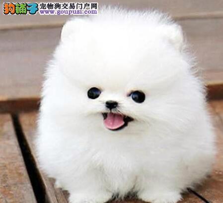 犬舍专业繁殖出售聪明博美犬幼犬欢迎选购带血统证书