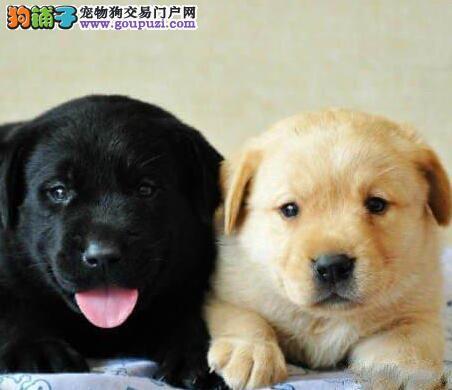重庆顶级拉布拉多导盲犬 血统纯正 健康质保可签订协议