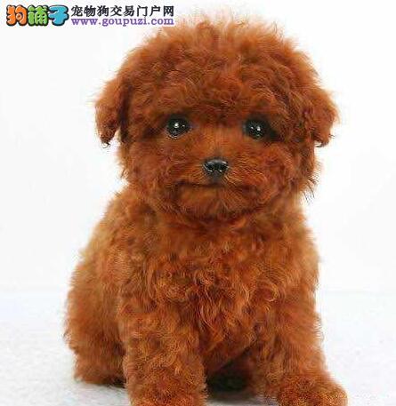 贵阳正规犬舍出售深红色泰迪犬 加微信随时可视频