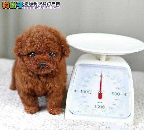 深圳白领都在买玩具茶杯泰迪犬 可以送货上门