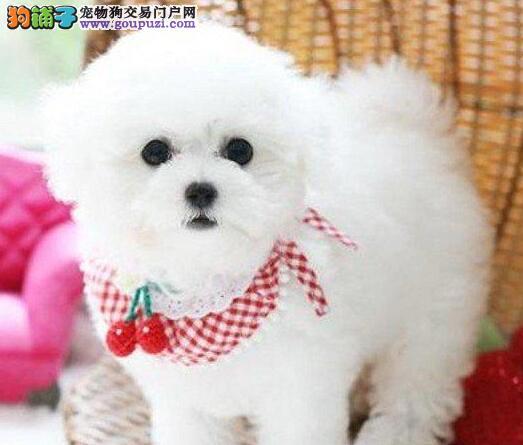 北京售纯种 比熊幼犬 白色粉扑巴比熊犬签协议