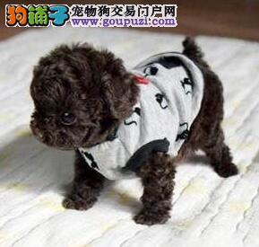 仙桃正规犬舍繁殖赛级品质泰迪犬 泰迪熊幼犬包活