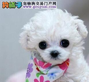 三个月的贵宾犬特价优惠出售中 石家庄市内免费送货